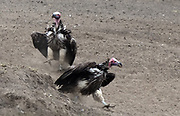 Huge lappet-faced vultures or Nubian vultures (Torgos tracheliotos) approach a dead animal in a threatening posture with wings spread and feathers puffed out to drive off smaller scavengers. Serengeti National Park, Tanzania.