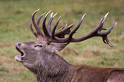 © Licensed to London News Pictures. 02/10/2016. London, UK. A male deer calls out at first light in Richmond Park on Sunday morning. The deer are in rutting season, where they are mating are particularly aggressive towards each other. Photo credit : Tom Nicholson/LNP