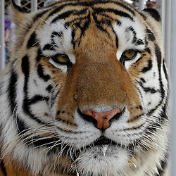October 22, 2011; Baton Rouge, LA, USA;  LSU Tigers mascot Mike VI in his cage prior to kickoff of a game against the Auburn Tigers at Tiger Stadium.  Mandatory Credit: Derick E. Hingle-US PRESSWIRE / © Derick E. Hingle 2011