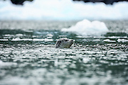 Harbor Seal in water holding head up with glacier ice in background