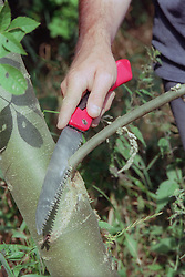 Pruning tree using serrated knife,