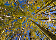 Golden aspens shine in the midday sun in a Colorado forest.