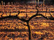 Vineyard in winter, Hunter Valley, Australia