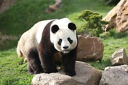 Handout pictures. Giant panda Male Yuan Zi and pregnant female Huan Huan form the emblematic couple of the Zoo Parc de Beauval in France on August 2017. Giant panda Huan Huan, on loan to France from China, will give birth to twins very soon. Photo by Zoo de Beauval/ABACAPRESS.COM