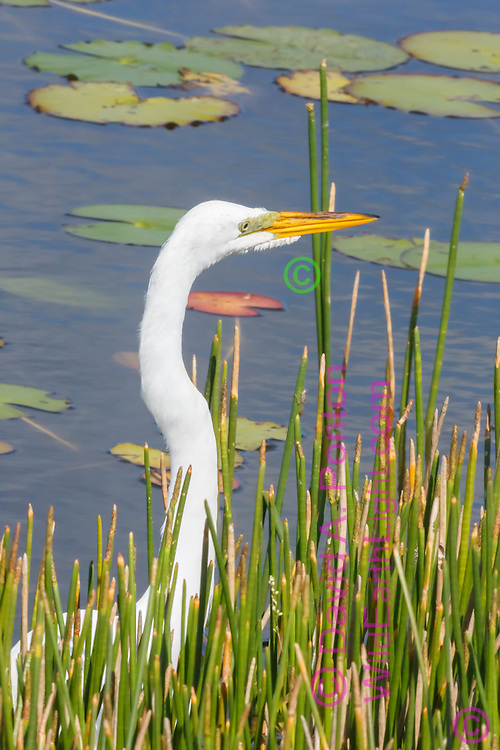 Great egret's long neck reaches above reeds at edge of pool in wetland, with lilly pads, © David A. Ponton