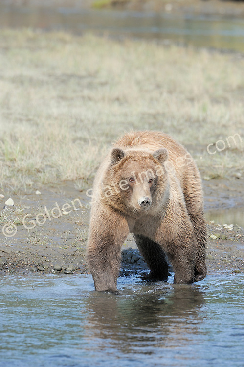 Brown Bears and Grizzly Bears are the same species. In general Bears living within 50 miles of the coast are considered browns. Animals living further inland are considered Grizzlies.  <br /> <br /> Grizzlies are omnivores feeding on a variety of plants berries roots and grasses in addition to fish insects and small mammals. Salmon are a key part of their diet. Normally a solitary animal they will congregate along streams and rivers during Salmon runs. Weight to over 1200 pounds.    <br />  <br /> Range: Native to Asia Africa Europe and North America. Now extinct in much of their original range.    <br />   <br /> Species: Ursus arctos