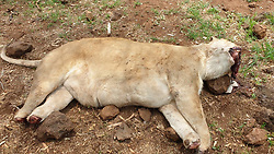 "EXCLUSIVE: A THIRD lion pride has been brutally butchered in a MONTH in South Africa by evil poachers who hacked off their heads and paws and stole them to be used to make black magic potions. Distraught owner Menno Parsons, 46, was broken the news that his male lion Tau, 10, and four lionesses had been fed chicken carcasses laced with poison causing them an agonising death. Menno - one of the top air display pilots in South Africa - owns Sunward Ranch which provided lion experiences for underprivileged children near the town of Brits in Limpopo Province. On Tuesday night a gang of poachers threw poisoned chickens over the two electrified fences and waited for the predators to eat them and suffer for up to 30 minutes until all his five lions were dead. Then they cut their way through the fences and using machetes hacked off the heads or jaws of the majestic lions to steal their teeth and hacked off 20 paws and stole them for use in ""muti"". Traditional witch doctors or healers use the body parts to make potions known as ""muti"" for local customers or the body parts are smuggled to the Far East and sold for vast amounts to dealers. Divorced father-of-three Menno said : ""When you get the phone call telling you that your lions have not just been killed by poachers but have been butchered I tell you nothing prepares you. ""I fly helicopters on anti-poaching patrols and go after poachers who are on the run to help out the police and security agencies but you never actually expect it is going to happen to you. ""I have looked after lions for 10 years and they are like a family to me. I am not afraid of these poachers and I have got guys with me and we will be going out there looking for them"" he said. Along with head of the pride Tau, 10, his four lionesses were killed sisters Tana and Jade, both 5, and Zuri and Nala, both 3. The animal park owner also flies a World War 2 P51 mustang and a Douglas DC3 airline and two Huey helicopters and is one of the most popular"