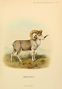 Altai argali (Ovis ammon ammon) [Here as Siberian argali Ovis animon typica] is a traditional subspecies of argali, a wild sheep that roams the highlands of the Altai Mountains in Central Asia.  colour illustration From the book ' Wild oxen, sheep & goats of all lands, living and extinct ' by Richard Lydekker (1849-1915) Published in 1898 by Rowland Ward, London