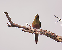 Austral Parakeet at Hotel Lago Gray. Torres de Paine, Ultima Esperanza, Magallanes, Chile. Image taken with a Fuji X-T1 camera and 55-200 mm VR lens (ISO 800, 200 mm, f/4.8, 1/125 sec).