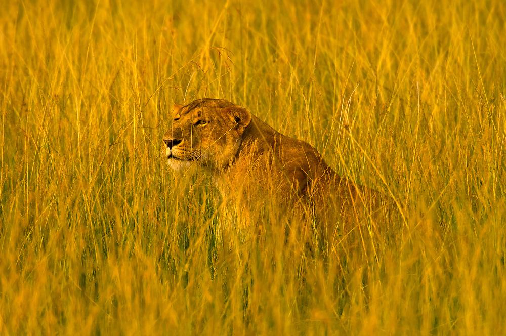 A lioness stalking zebra and eland, Masai Mara National Reserve, Keny