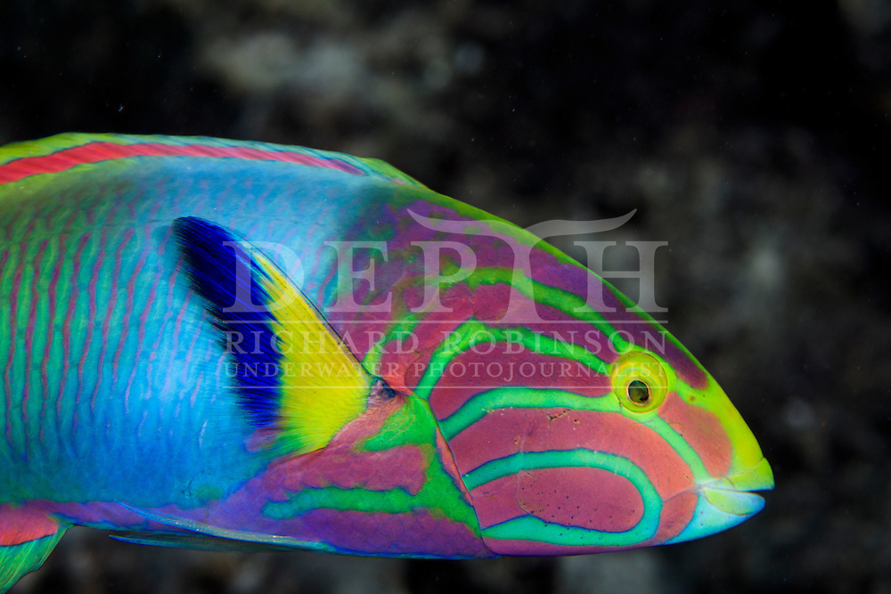 Thalassoma lutescens (Sunset wrasse) Terminal Phase Male, Cook Islands.  July 2015. Photograph Richard Robinson © 2015.