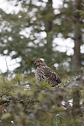 Spruce grouse feeding in a confier tree in boreal habitat