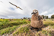 A Laysan Albatross (Phoebastria immutabilis) chick , Midway Atoll National Wildlife Refuge.