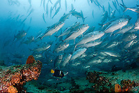 A school of jack fish at a healthy coral reef at Cabo Pulmo National Marine Park in Mexico.