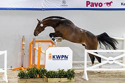 127, Nino<br /> KWPN Hengstenkeuring 2021<br /> © Hippo Foto - Dirk Caremans<br />  02/02/2021