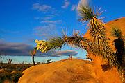 Sunset on Joshua Tree branches and boulder. Joshua Tree National Park, California.