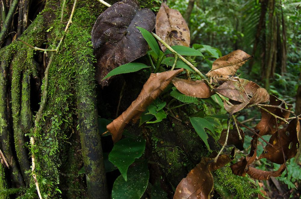 Dead-leaf Katydid (Typophyllum acutum, Tettigoniidae)<br /> Yasuni National Park, Amazon Rainforest<br /> ECUADOR. South America<br /> HABITAT & RANGE: