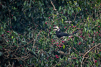 The oriental pied hornbill (Anthracoceros albirostris) is an Indo-Malayan pied hornbill, a large canopy-dwelling bird belonging to the Bucerotidae family. The species is considered to be among the smallest and most common of the Asian hornbills.