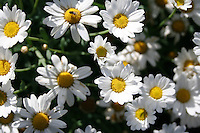 daisy flowers growing in a field
