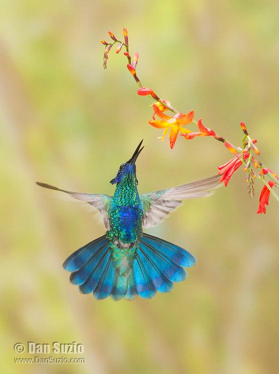Sparkling violet-ear hummingbird, Colibri coruscans, feeding at a flower near Nono, Ecuador