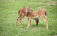 Middletown, New York -  Two young white-tailed deer feed in a suburban neighborhood on July 20, 2010.  Deer can become a nuisance in suburban areas because they can damage landscaping, cause vehicle-deer collisions on roads and carry Lyme disease.