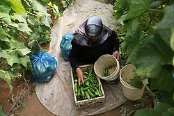 July 19, 2017 - Gaza, Palestine - Palestinian farmer Sabah Abu Halima gathered the Cucumber inside her farm  in Beit Lahiya, northern Gaza Strip, Wednesday, July 19, 2017. (Credit Image: © Majdi Fathi/NurPhoto via ZUMA Press)