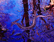 Highly venomous Florida Cottonmouth or Water Moccasin, Agkistrodon piscivorus conanti, Kennedy Creek near Cotton Landing, Apalachicola National Forest, Florida.