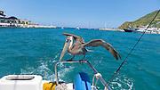 Pelican, Cabo San Lucas, Baja, Mexico