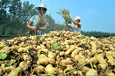 China - Peanut Harvesting In Chiping County - 14 Sep 2016