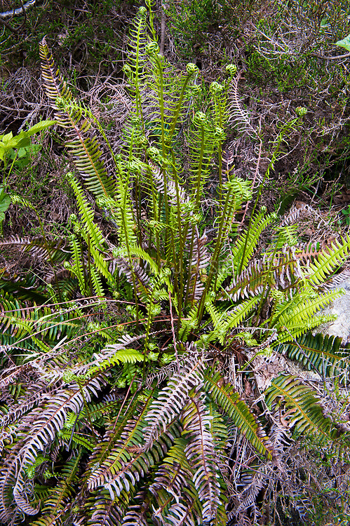 Deer fern (Blechnum spicant) roling out new leaves in eraly summer. Photo from south-western Norway in June. Both sterile leaves and fertile leaves as well as older fertile leaves are visible.
