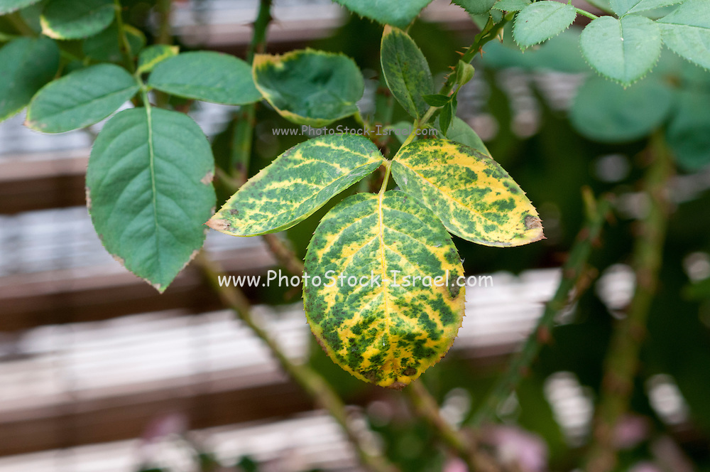 Rose leaf with Mosaic Virus symptoms. Net-like appearance with vein clearing shows infection by complex of virus pathogens.