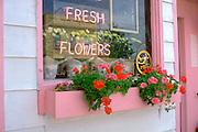 Flower shop window box with pink and red geraniums  St Joseph Minnesota USA