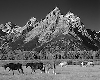 Three horses trot across a field in front of the Grand Teton Mountains on a clear day.