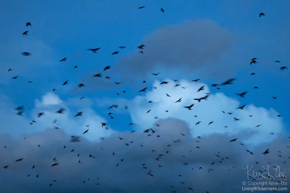 A long exposure captures the motion of American crows (Corvus brachyrhynchos) flying to their nightly roost in Bothell, Washington. During the winter months, up to 15,000 crows use the roost each night.