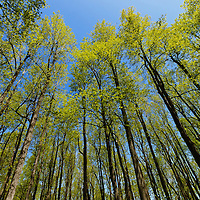 """""""Springing Up""""<br /> <br /> Beautiful tall trees during springtime in the forests of the Blue Ridge Mountains of Virginia!!<br /> <br /> The Blue Ridge Mountains by Rachel Cohen"""