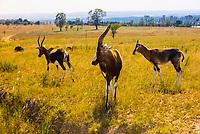 Blesbok, Lion Park, near Johannesburg, South Africa.