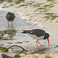 Magellanic Oystercatchers feed on a beach on New Island, in Britain's Falkland Islands.
