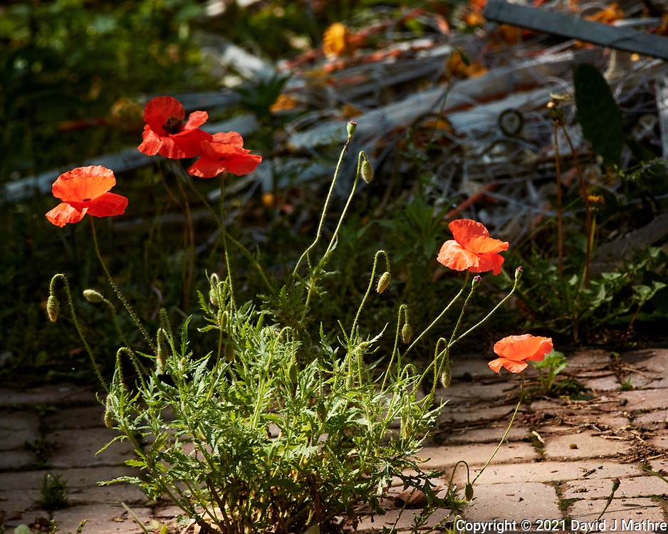 Poppy flower. Image taken with a Nikon 1 V3 camera and 70-300 mm VR lens.