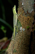 Blue-lipped Forest Anole, Anoli, Manu, Peru, clinging to forest tree trunk