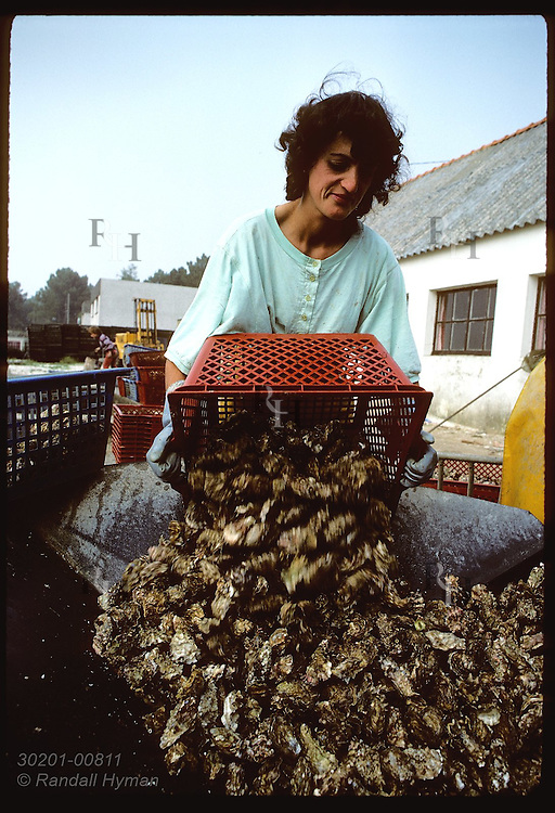 Oysterwoman dumping bin of Japanese oysters onto conveyor belt to sort for size; Crach River. France