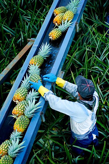 Pineapple Picker Loads Pineapples Onto A Conveyor Belt In Costa Rica.