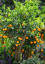 Orange tree laden with fruit. The Viking Cruises Garden of Inspiration, RHS Chelsea Flower Show 2017.