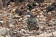 Female wood duck in woodland habitat