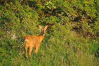 Roe deer doe, Capreolus capreolus, Morko, Sormland, Sweden