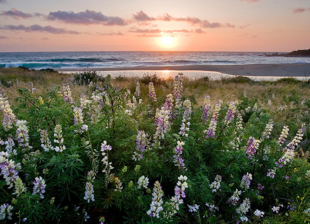 Carmel flowers at sunset