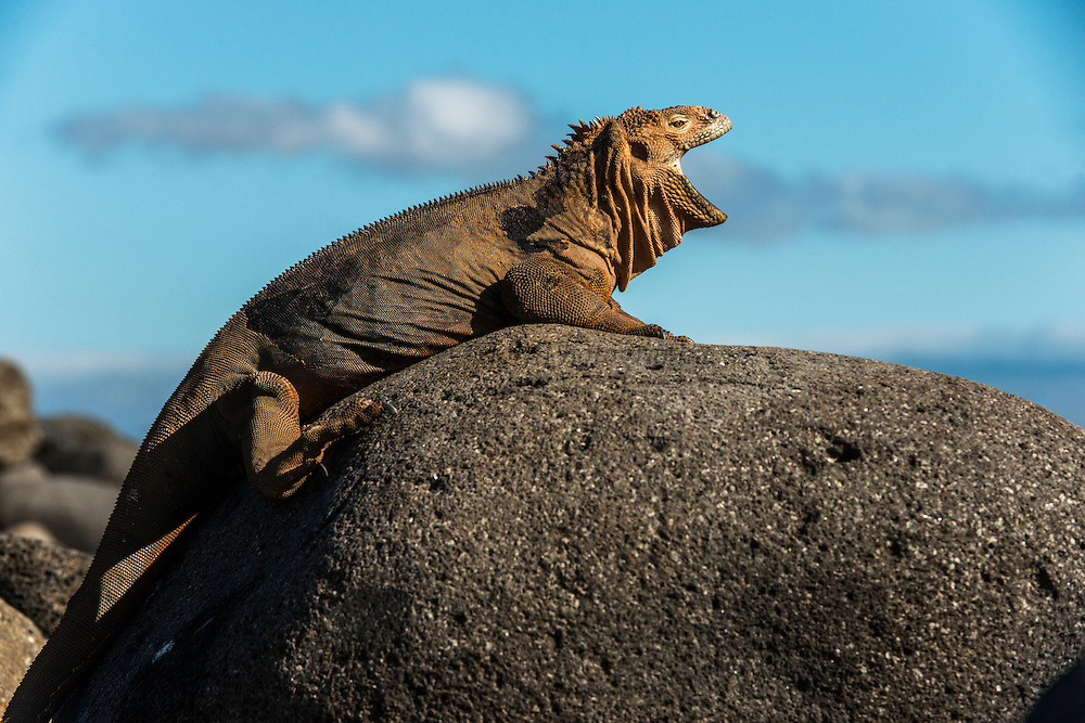 Land Iguana (conolphus subcristatus)<br /> North Seymour<br /> Galapagos<br /> Ecuador<br /> South America<br /> Endemic