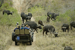 July 6, 2015 - African Buffaloes and tourists on safari, Sabi Sand Game Reserve, South Africa / (Syncerus caffer) (Credit Image: © Tuns/DPA/ZUMA Wire)