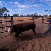 Australia, Northern Territory, (MR) Jonathan Karger wrestles calf at  Orange Creek Station in Outback