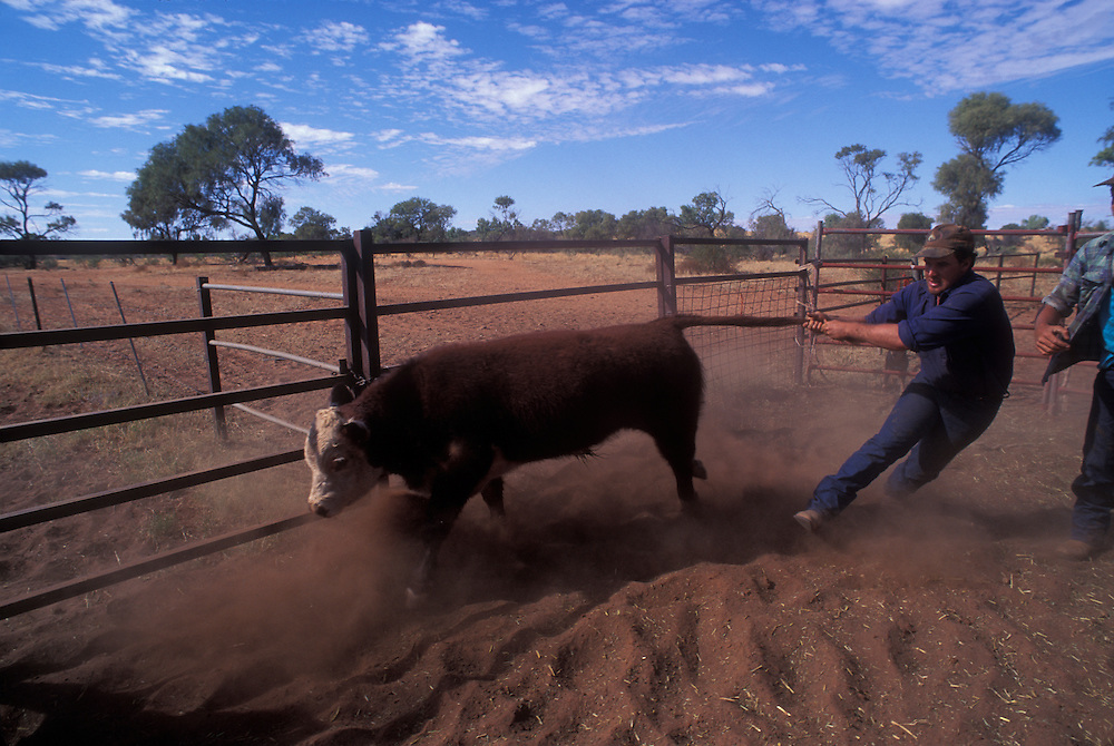 Australia, Northern Territory, (MR) Jonathan Karger wrestles calf at  Orange Creek Station in Outback