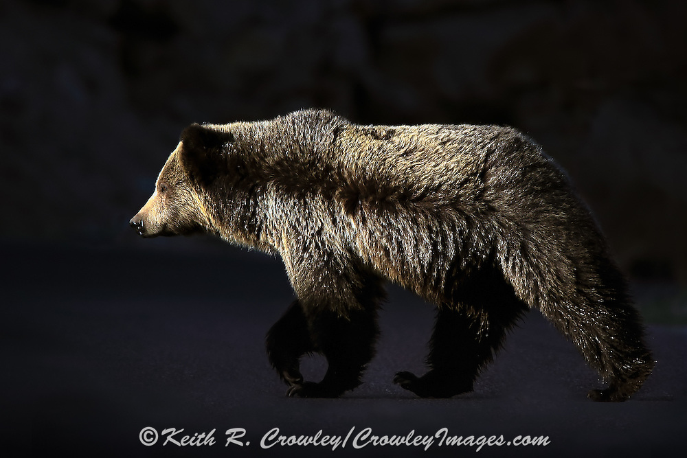 Grizzly Bear Crossing Road in Wyoming